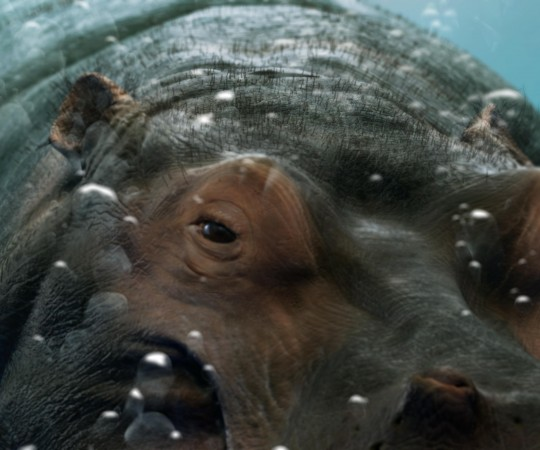 BBC Hippo Ident